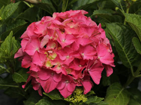 'Forever Pink' Mophead Hydrangea