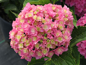 Licorice Lollypop™ Reblooming Mophead Hydrangea