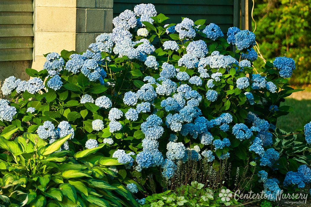 Roses And Hydrangeas Landscape
