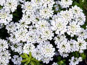 'Purity' Candytuft