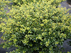 'Green Luster' Japanese Holly
