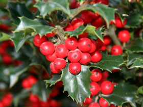 'Red Beauty'®  Holly Tree
