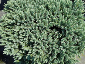 'Blue Star' Juniper