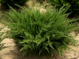 'Sea Green' Juniper