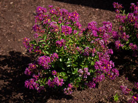 Bellini™ Grape Crapemyrtle