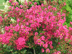 'Center Punch' Dwarf Hardy Crapemyrtle