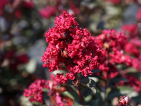 'Double Feature' Hardy Crapemyrtle