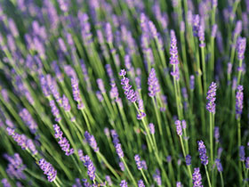 'Hidcote' Enlish Lavender