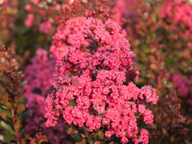 'Pink Velour' Hardy Crapemyrtle