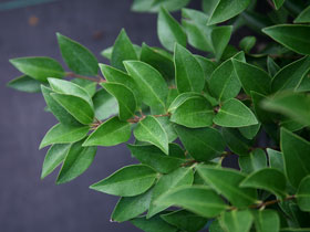 'Korean Choice' Evergreen Privet