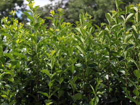 Hardy Oval Leaf California Privet
