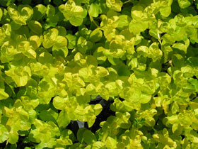 Golden Creeping Jenny