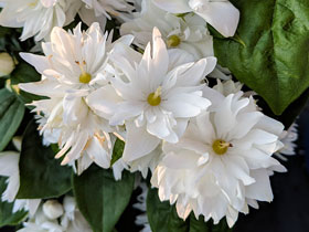 'Miniature Snowflake' Dwarf Mock Orange