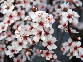 Purple Sand Cherry