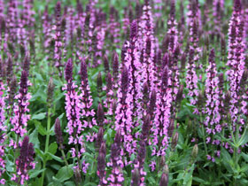 'New Dimension Rose' Dwarf Sage
