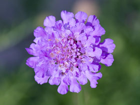 'Vivid Violet' Pincushion Flower