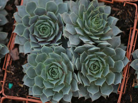 'Blue Ice' Hens & Chicks