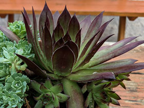 'Black' Hens & Chicks
