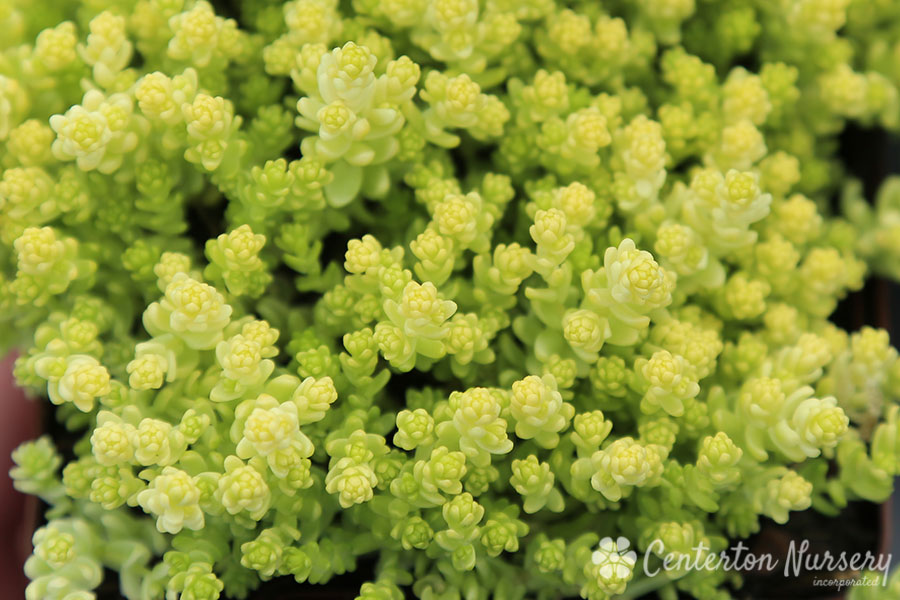 Golden Stonecrop