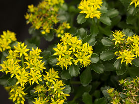 'Little Miss Sunshine' Groundcover Sedum