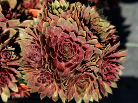 'Royal Ruby' Hens & Chicks