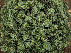 'Steel The Show' Groundcover Sedum