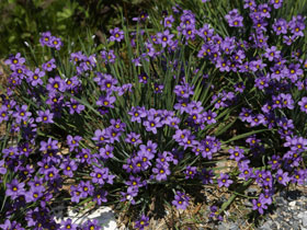 'Lucerne' Blue-Eyed Grass