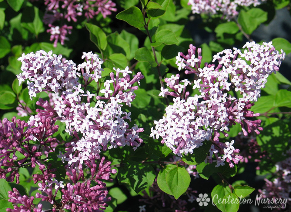 Dwarf Korean Lilac Bush