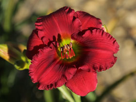 'Bésame Mucho' Trophytaker<sup>®</sup> Daylily