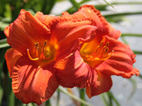 'Hot Ember' Trophytaker<sup>®</sup> Daylily