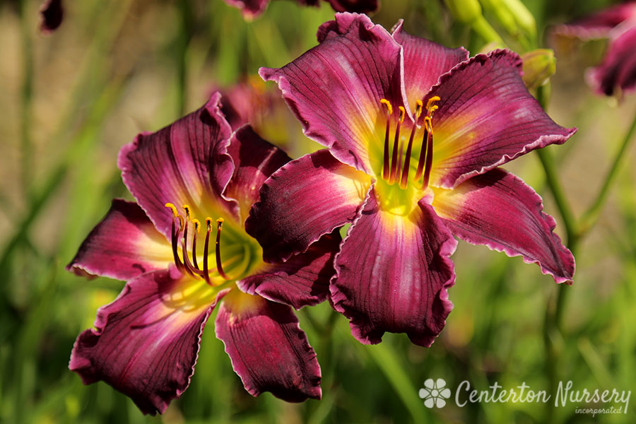 'Indian Giver' Trophytaker<sup>®</sup> Daylily