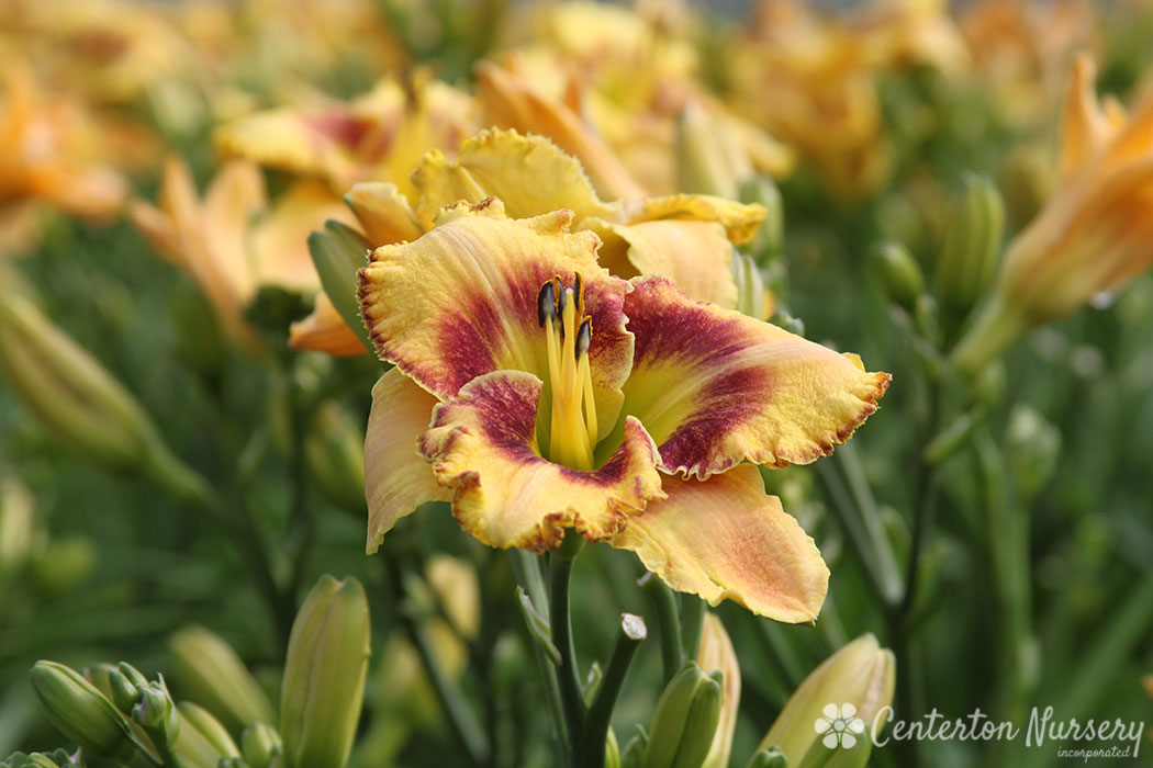 'Mean Mr. Mustard' Trophytaker<sup>&reg;</sup> Daylily