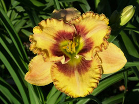 'Mean Mr. Mustard' Trophytaker<sup>®</sup> Daylily
