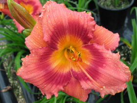 'Miss Rachel' Trophytaker<sup>®</sup> Daylily