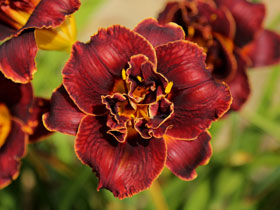 'Night Embers' Trophytaker<sup>®</sup> Daylily