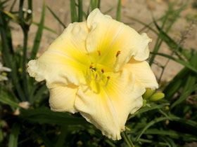 'Porcelain Ruffles' Trophytaker<sup>®</sup> Daylily