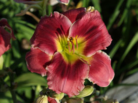 'P.S. I Love You' Trophytaker<sup>®</sup> Daylily