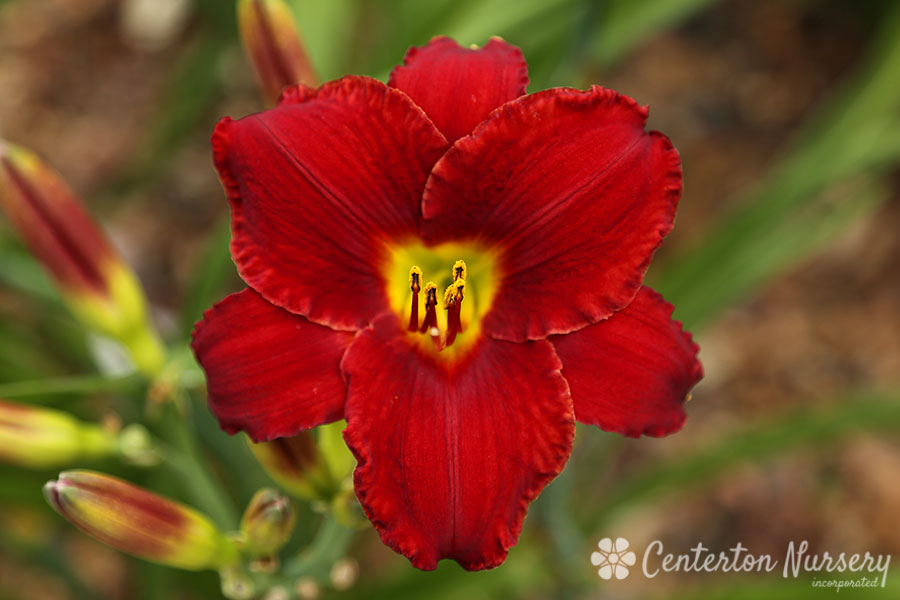 'Red Reverence' Trophytaker<sup>&reg;</sup> Daylily