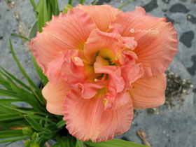 'Siloam Double Classic' Trophytaker<sup>®</sup> Daylily