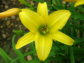 'The Jury's Out' Trophytaker<sup>®</sup> Daylily