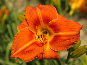 'Tuscawilla Tigress' Trophytaker<sup>®</sup> Daylily