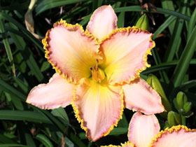 'Winner's Portrait' Trophytaker<sup>®</sup> Daylily