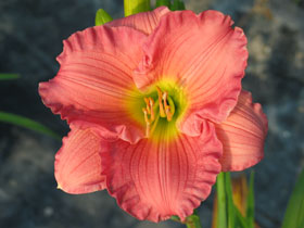'Woodside Romance' Trophytaker<sup>®</sup> Daylily