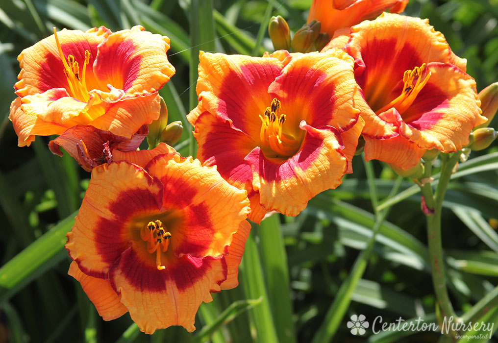 'You Are My Sunshine' Trophytaker<sup>®</sup> Daylily
