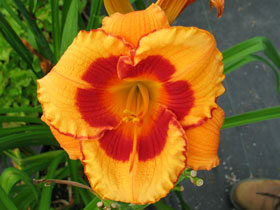 'You Are My Sunshine' Trophytaker<sup>&reg;</sup> Daylily