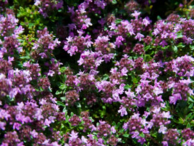'Magic Carpet' Creeping Thyme