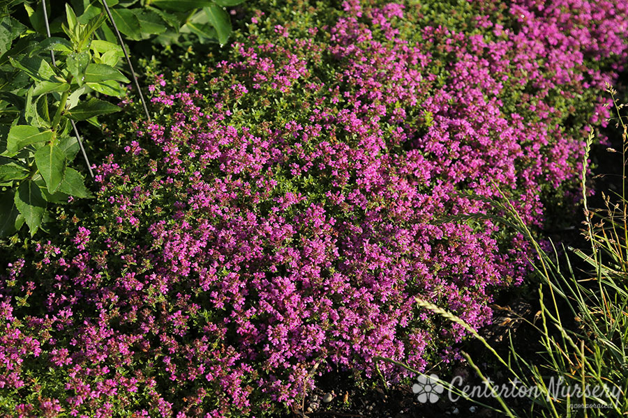 Red Creeping Groundcover Thyme