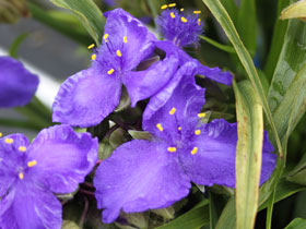 'Concord Grape' Spiderwort