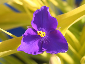 'Sweet Kate' Spiderwort