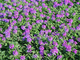'Homestead' Purple Trailing Verbena